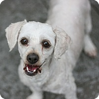 Adopt A Pet :: Missy-Terripoo! - Canoga Park, CA