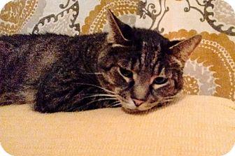 Domestic Shorthair Cat for adoption in Northfield, Ohio - Rango