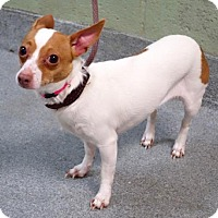 Chihuahua Dog for adoption in NYC, New York - Beba Las Vegas