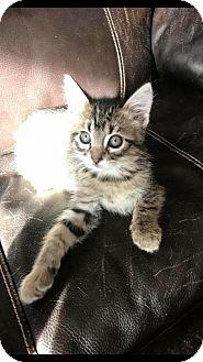 Domestic Shorthair Kitten for adoption in Fargo, North Dakota - Scout