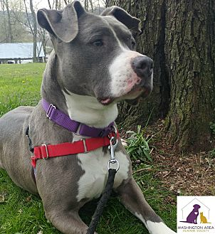 Pit Bull Terrier Mix Dog for adoption in Eighty Four, Pennsylvania - Hannah