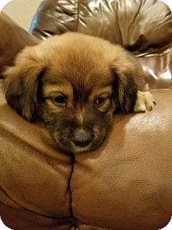 Shepherd (Unknown Type)/Labrador Retriever Mix Puppy for adoption in Fredericksburg, Virginia - Michone