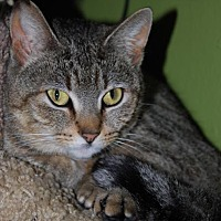 Domestic Shorthair Cat for adoption in Memphis, Tennessee - Mimsy