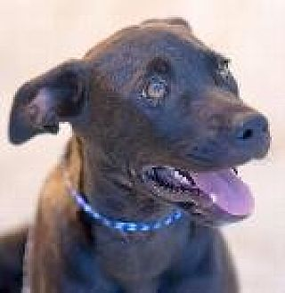 Labrador Retriever/Hound (Unknown Type) Mix Dog for adoption in Pt. Richmond, California - SHYLA