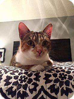 Calico Cat for adoption in Bentonville, Arkansas - Scarlett
