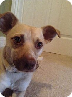 Chihuahua/Mixed Breed (Small) Mix Dog for adoption in Ottawa, Ontario - Ragnar