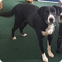 Adopt A Pet :: Nyx - Chewelah, WA
