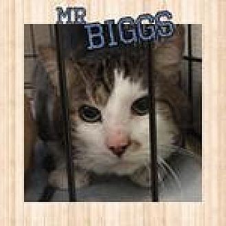 Domestic Shorthair Cat for adoption in Westbury, New York - Mr. Biggs
