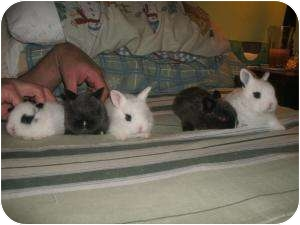 Dwarf Mix for adoption in Long Valley, New Jersey - October Baby Bunnies
