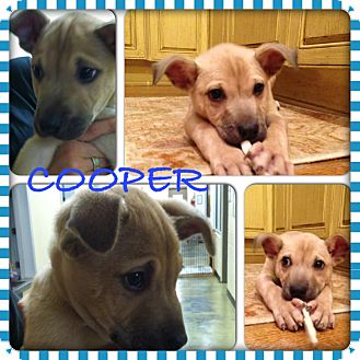 Boxer/Shepherd (Unknown Type) Mix Puppy for adoption in CHICAGO, Illinois - COOPER