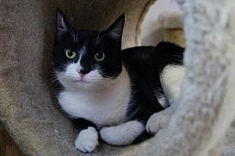 Domestic Shorthair Cat for adoption in New Milford, Connecticut - Alaric