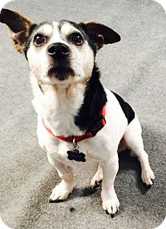 Jack Russell Terrier/Terrier (Unknown Type, Small) Mix Dog for adoption in North Olmsted, Ohio - Fast Eddie-Courtesy Post