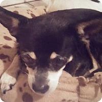Adopt A Pet :: Tulip - Brooksville, FL