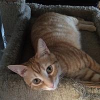 Domestic Shorthair Cat for adoption in San Ysidro, California - Matilda