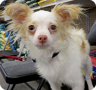 Chihuahua Dog for adoption in Studio City, California - Tony