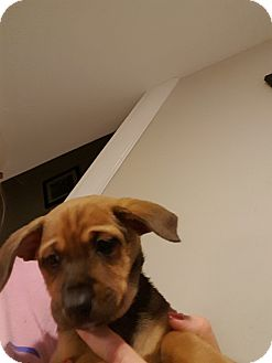 Terrier (Unknown Type, Medium) Mix Puppy for adoption in WESTMINSTER, Maryland - Saucy