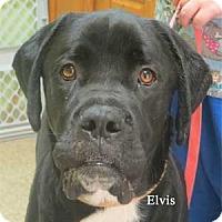 Adopt A Pet :: Elvis - Warren, PA