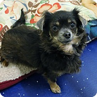 Adopt A Pet :: Cinder - Rockwall, TX