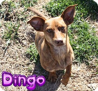 Dachshund Mix Dog for adoption in Nixa, Missouri - Dingo # 934