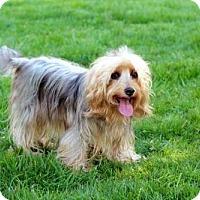 Adopt A Pet :: SADIE SUNSHINE - Spring Valley, NY