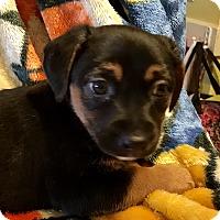 Adopt A Pet :: Peep - ST LOUIS, MO