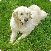 Golden Retriever Mix Dog for adoption in Washington, D.C. - Maisie