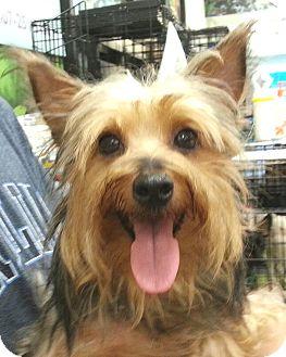 Yorkie, Yorkshire Terrier Dog for adoption in Orlando, Florida - Mako