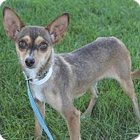 Adopt A Pet :: Tabby - Fountain, CO