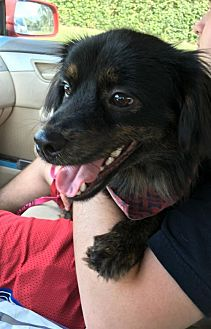 Terrier (Unknown Type, Medium) Mix Dog for adoption in West Palm Beach, Florida - Hercules