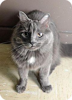 Domestic Mediumhair Cat for adoption in Fort Leavenworth, Kansas - Patti(Ashlynn)