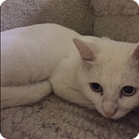 Adopt A Pet :: Snowflake - Forest Hills, NY