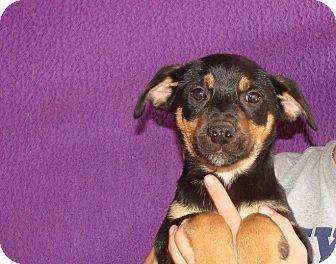 Australian Shepherd/Labrador Retriever Mix Puppy for adoption in Oviedo, Florida - Tawney