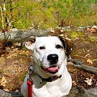 Adopt A Pet :: Harpo - East Randolph, VT
