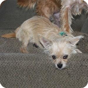 Cairn Terrier Mix Dog for adoption in Phoenix, Arizona - Triscuit