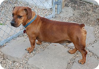 Dachshund Rescue Virginia Beach