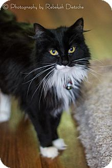 Domestic Longhair Cat for adoption in Byron Center, Michigan - Feather