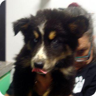 Husky/Collie Mix Puppy for adoption in Greencastle, North Carolina - Daytona