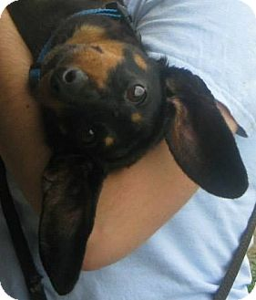 Dachshund Dog for adoption in Prole, Iowa - Blake