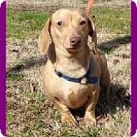Adopt A Pet :: NutterButter - Staunton, VA