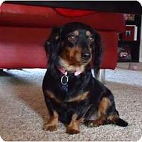 Adopt A Pet :: Avery - Arlington, TX