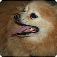 Adopt A Pet :: Skipper - Westfield, IN