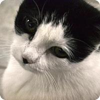 Adopt A Pet :: Morticia - East Smithfield, PA