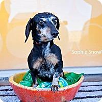 Adopt A Pet :: Sophie Snow - Shawnee Mission, KS