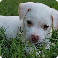 Adopt A Pet :: Patriot - Austin, TX