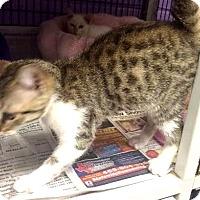 Adopt A Pet :: Simona - Dallas, TX