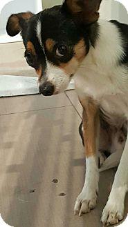Chihuahua Mix Dog for adoption in Valencia, California - Tango