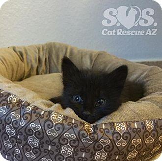 Domestic Shorthair Kitten for adoption in Tucson, Arizona - Mystique