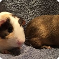 Adopt A Pet :: Donnie - Steger, IL
