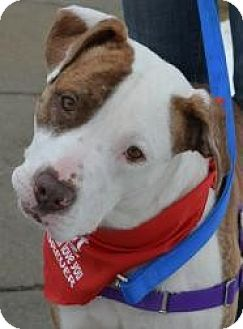 American Bulldog Mix Dog for adoption in Northville, Michigan - Fender