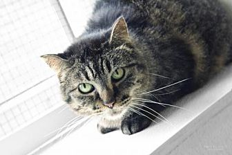 Domestic Shorthair Cat for adoption in South Amana, Iowa - PK